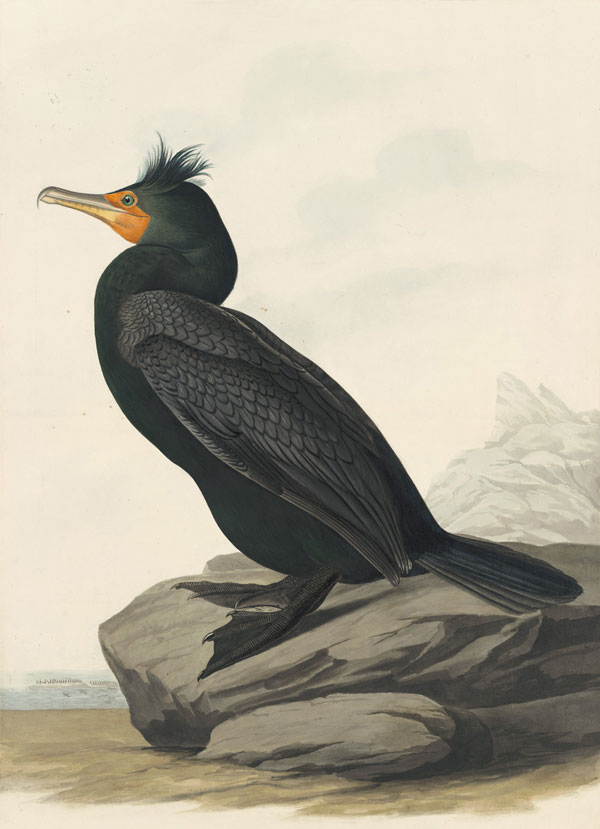 John James Audubon (1785–1851) <i>Double-crested Cormorant (</i>Phalacrocorax auritus<i>), Havell pl. 257</i>, 1833