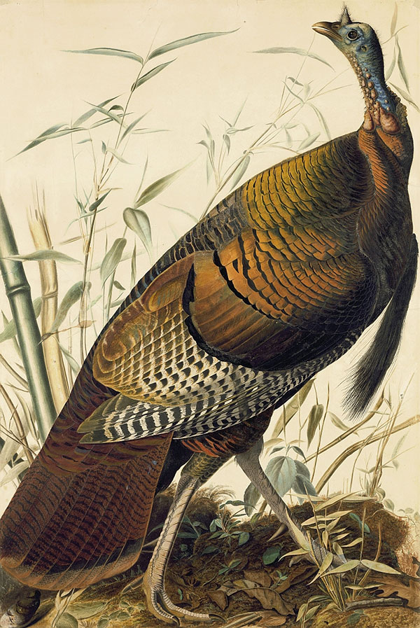<em>Wil</em><em>d Turkey (</em>Meleagris gallopavo<em>), Study for Havell pl. 1</em>, ca. 1825