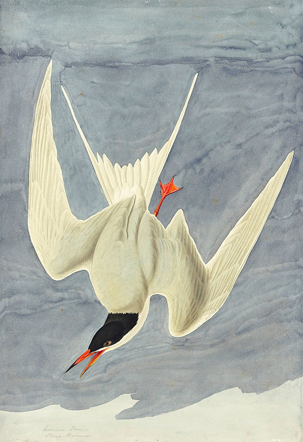 John James Audubon (1785–1851)<br /><em>Common Tern (</em>Sterna hirundo<em>), Study for Havell pl. 309