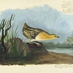 1863_17_329_YellowRail-thumb