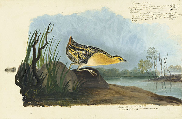 John James Audubon (1785–1851)<br /><em>Yellow Rail (</em>Coturnicops noveboracensis<em>), Havell pl. 329</em>; sketch of a feather, 1821