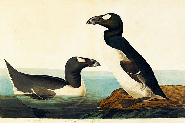 <em>Great Auk (Pinguinus impennis), Study for Havell</em> <em>pl. 341</em>, ca. 1834–36 EXTINCT