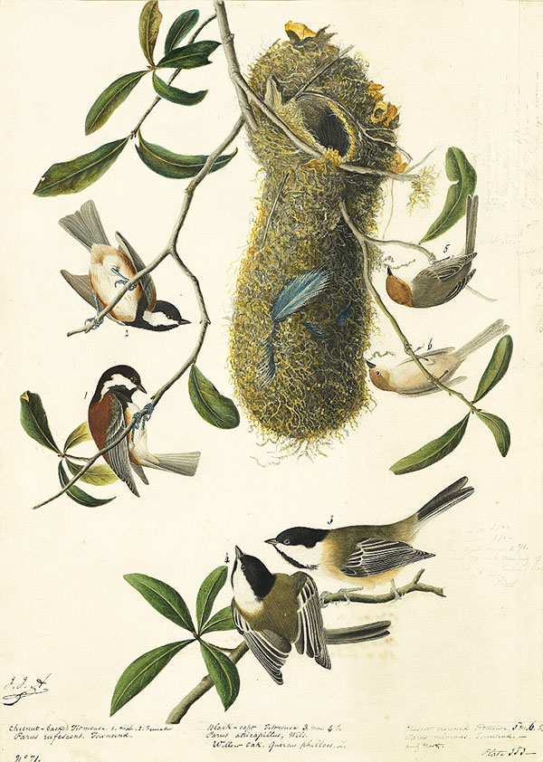 John James Audubon (1785–1851)<br /><em>Chestnut-backed Chickadee (</em>Poecile rufescens<em>), Bushtit (</em>Psaltriparus minimus<em>), and Black-capped Chickadee (</em>Poecile atricapillus<em>), Study for Havell pl. 353</em>, 1836
