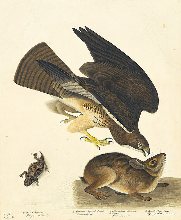 Figure 4. John James Audubon (1785–1851)<br /><em>Swainson's Hawk (</em>Buteo swainsoni<em>), Study for Havell pl. 372</em>, 1836–37<br />Watercolor, graphite, pastel, and black ink with scratching out and touches of glazing on paper, laid on card, 30 3/16 x 24 13/16 in. (76.7 x 63 cm)<br />Purchased for the Society by public subscription from Mrs. John J. Audubon, 1863.17.372<br />[with Maria Martin and John Woodhouse Audubon]