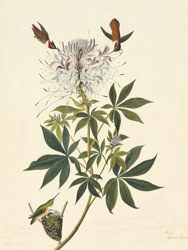 John James Audubon (1785–1851)<br /><em>Rufous Hummingbird (</em>Selasphorus rufus<em>), Study for Havell pl. 379</em>, 1836–37