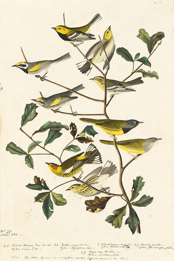 John James Audubon (1785–1851)<br /><em>Black-throated Green Warbler (</em>Dendroica virens<em>), Blackburnian Warbler (</em>Dendroica fusca<em>), MacGillivray's Warbler (</em>Oporornis tolmiei<em>), Cape May Warbler (</em>Dendroica tigrina<em>), and Golden-winged Warbler (</em>Vermivora chrysoptera<em>)</em> NEAR THREATENED<em>, Study for Havell pls. 399 and 414</em>, ca. 1836–37