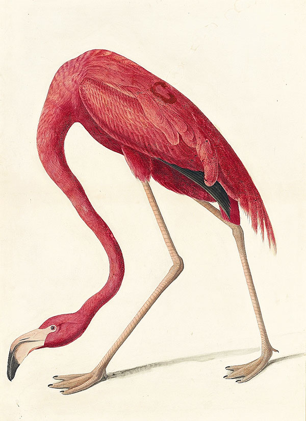 John James Audubon (1785–1851)<br /><em>American Flamingo (</em>Phoenicopterus ruber<em>), Study for Havell pl. 431</em>, 1838
