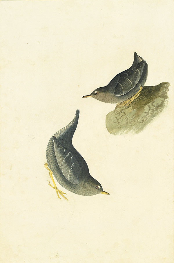 <em>American Dipper (</em>Cinclus mexicanus<em>), Study for Havell pl. 435</em>, 1838