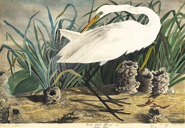 Figure 2. John James Audubon (1785–1851)<br /><em>Great Egret (</em>Ardea alba<em>)</em>, ca. 1831<br />Watercolor, graphite, pastel, black chalk, gouache, white lead pigment, and black ink on paper, laid on car,; 25 1/2 x 37 1/16 in. (64.8 x 94.1 cm)<br />Purchased for the Society by public subscription from Mrs. John J. Audubon,<br />1863.18.29