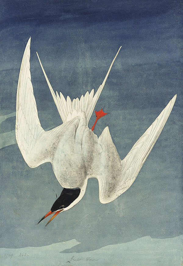 Figure 1. John James Audubon (1785–1851)<br /><em>Common Tern (</em>Sterna hirundo<em>)</em>, 1821, watercolor, collage (over graphite outline), graphite, black chalk, gouache, and black ink with touches of glazing on paper, laid on card, 21 3/8 x 14 13/16 in. (54.3 x 37.6 cm)<br />Purchased for the Society by public subscription from Mrs. John J. Audubon, 1863.18.33