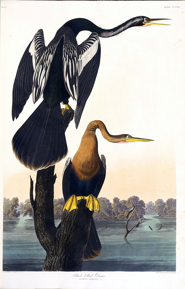 Figure 2. Robert Havell Jr. after John James Audubon, Plate 316, <em>The Birds of America</em><br />(1827–38), N-YHS, Department of Prints, Photographs, and Architectural Collections