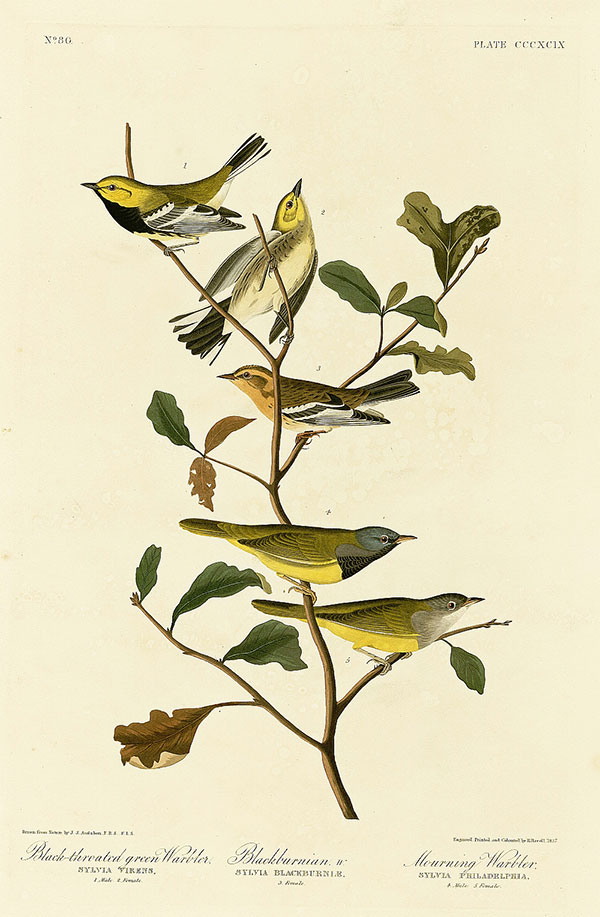 Figure 1. Robert Havell Jr. after John James Audubon, Plate 399, <em>The Birds of America</em><br />(1827–38), N-YHS, Department of Prints, Photographs, and Architectural Collections