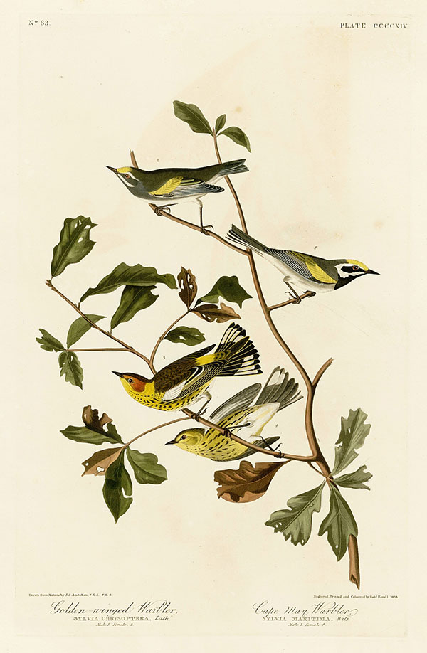 Figure 2. Robert Havell Jr. after John James Audubon, Plate 414, <em>The Birds of America</em><br />(1827–38), N-YHS, Department of Prints, Photographs, and Architectural Collections